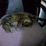 Lotto the Cat, sleeping on an office chair