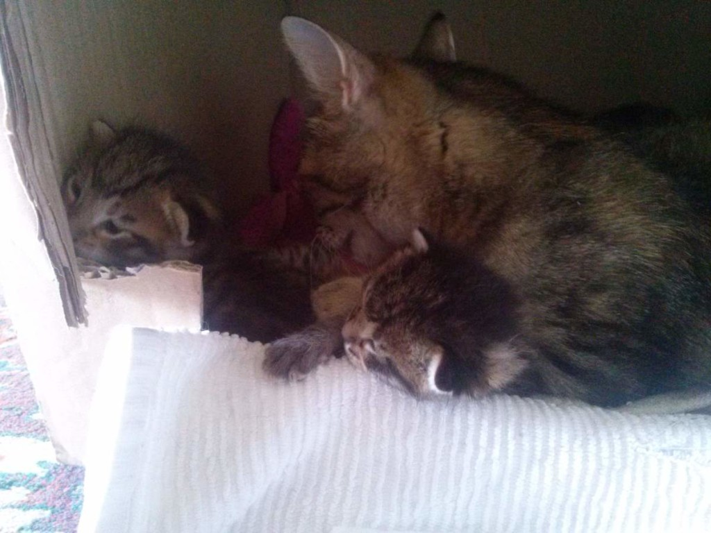 Lotto and her kittens (April 5, 2015) (15)