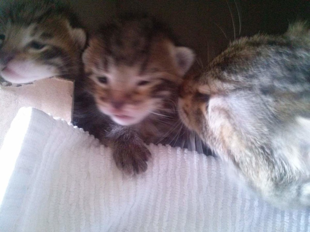 Lotto and her kittens (April 5, 2015) (16)