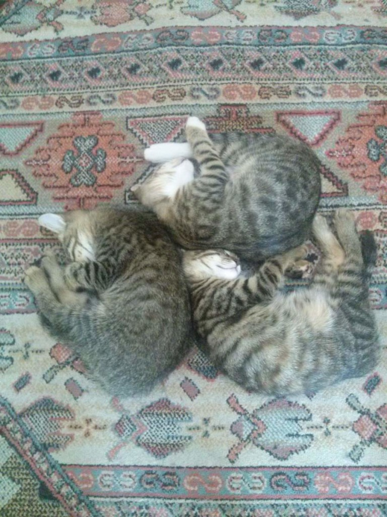 2015-06-07 three kittens sleeping