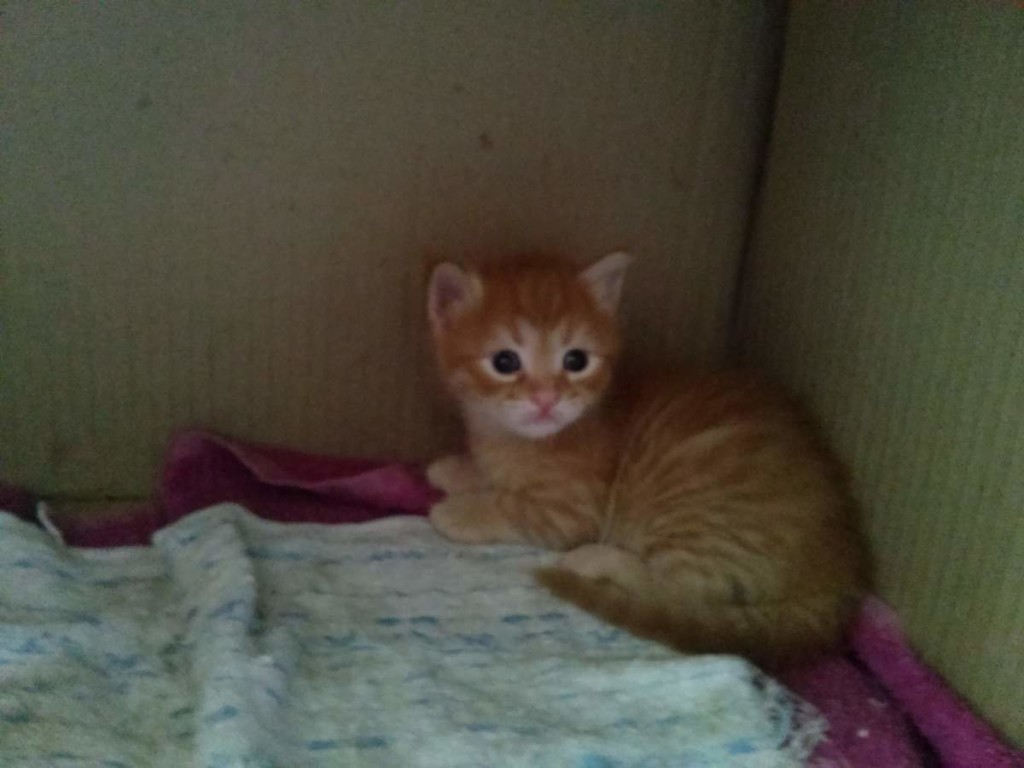 The orange kitten.