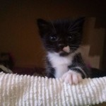 April 23, 2015 - 01 - the Tuxedo kitten