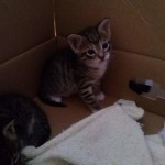 April 23, 2015 - 04 - the white-feet male tabby