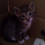 April 23, 2015 - 05 - the white-feet male tabby