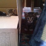 April 23, 2015 - 10 - the male tabbies