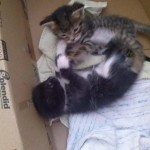 April 23, 2015 - 19 - wrestling kittens