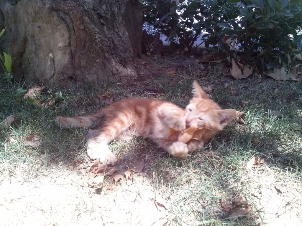 2015-07-20-04 Bosphorus University, orange kitten