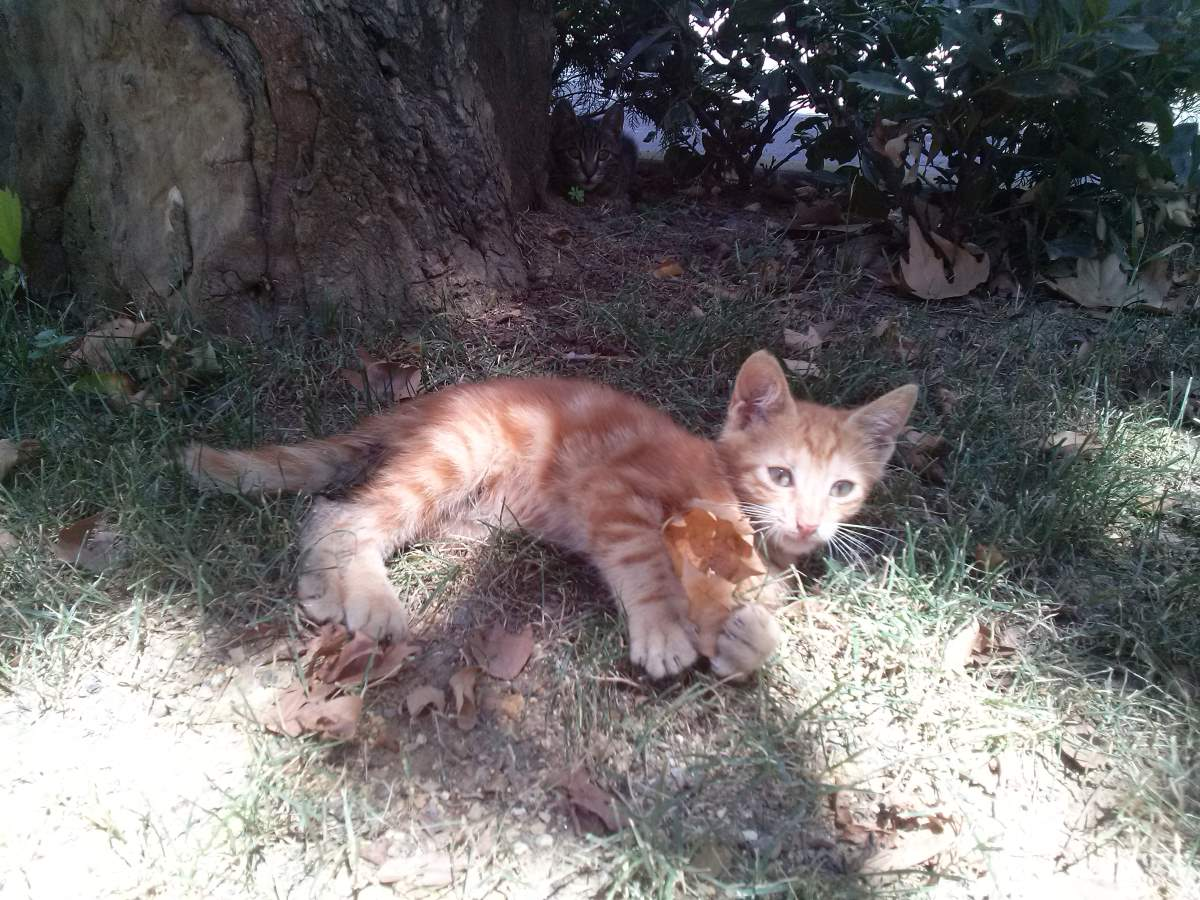 2015-07-20-05 Bosphorus University, orange kitten
