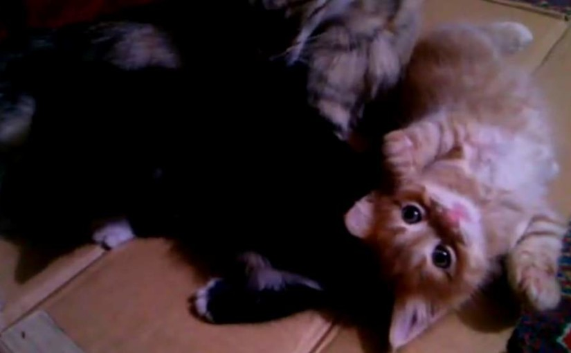 April 30, 2015 - Lotto playing with two kittens