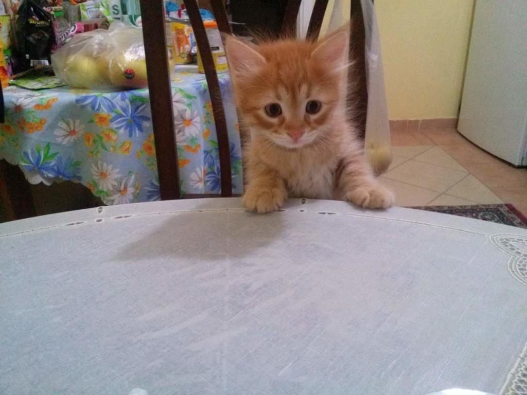 May 14, 2015 - the yellow kitten at the kitchen table