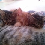 May 19, 2015 - Mother cat nursing the kittens
