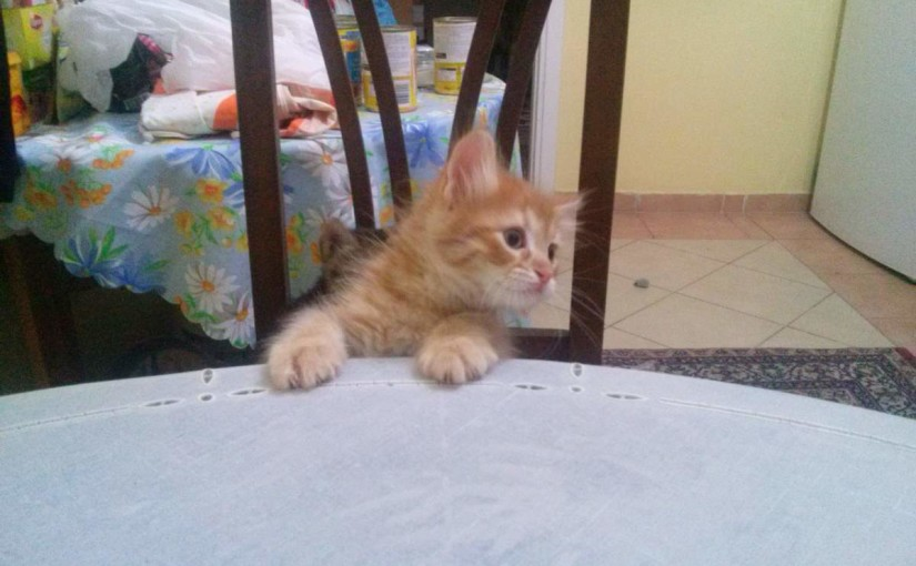 Yellow kitten on the table