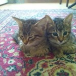 2015-05-26, Male and female tabbies