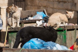 Cats eating from garbage