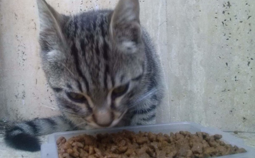 Tabby kitten eating cat food