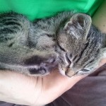 2015-06-03 Little big-eyed tabby kitten