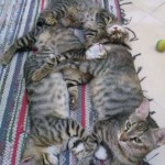 2015-06-13-04, three tabbies after the breastfeeding, and Lotto