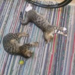 2015-06-14-01 Two Male Tabbies