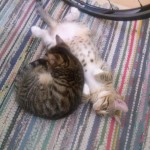 2015-06-14-03 Two Male Tabbies