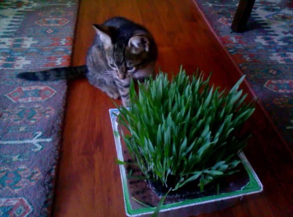 Kitten eating cat grass
