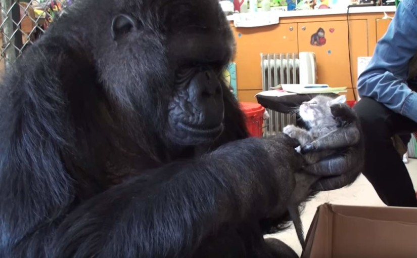 Koko the Gorilla adopts new kittens
