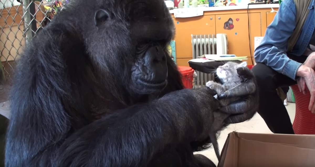Koko The Gorilla Adopts New Kittens Lotto The Cat