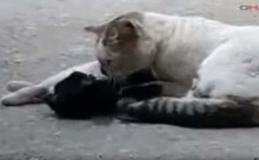 Male cat tries to revive his dying girlfriend