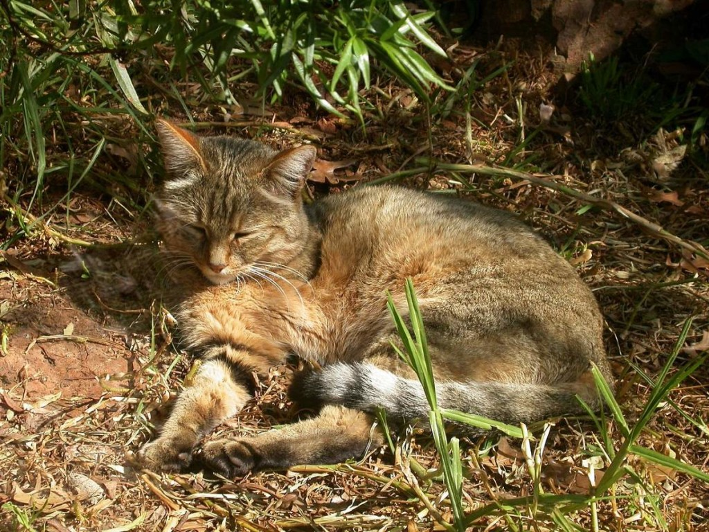 African Wildcat sleeping