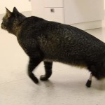 Cat walks for the first time thanks to his new titanium Legs