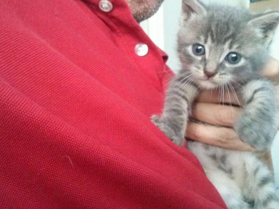 Gray Kitten, 2016-06-16-04