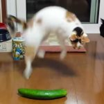 Why do cats afraid of cucumbers?