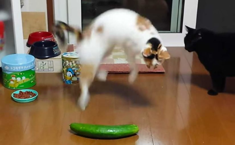 Cat and cucumber