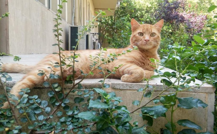 Sarman the orange cat, August 11, 2017