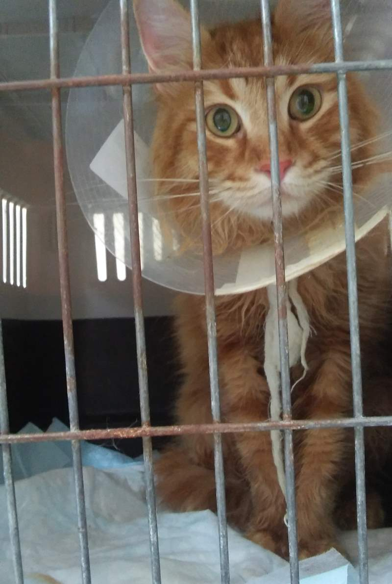 Orange cat after bowel obstruction surgery. June 11, 2011