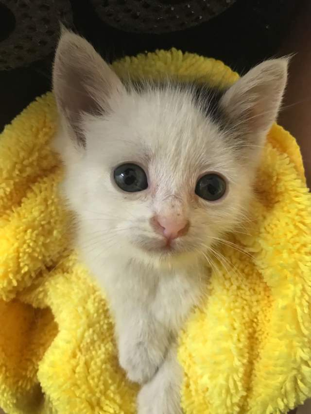 Cotton the Kitten, after bath