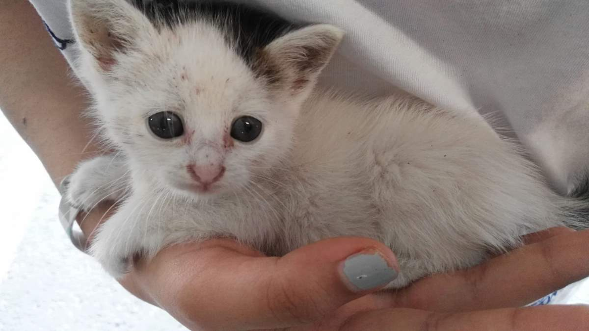 Cotton the Kitten - after rescue