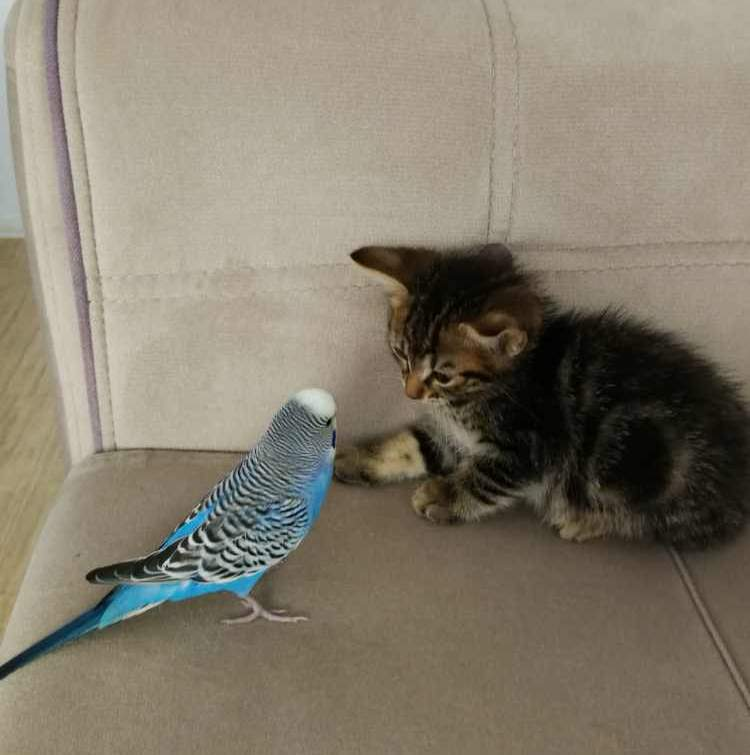 Sky the kitten befriended with a budgerigar