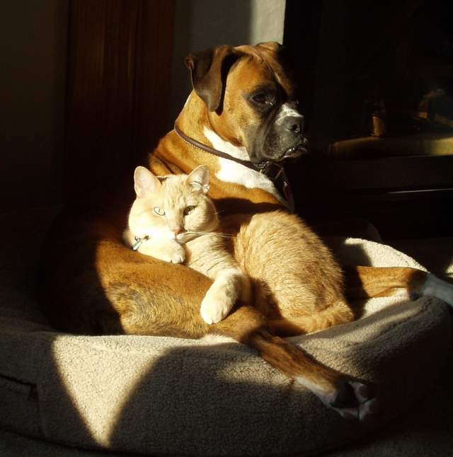 Image result for boxer dog and cat