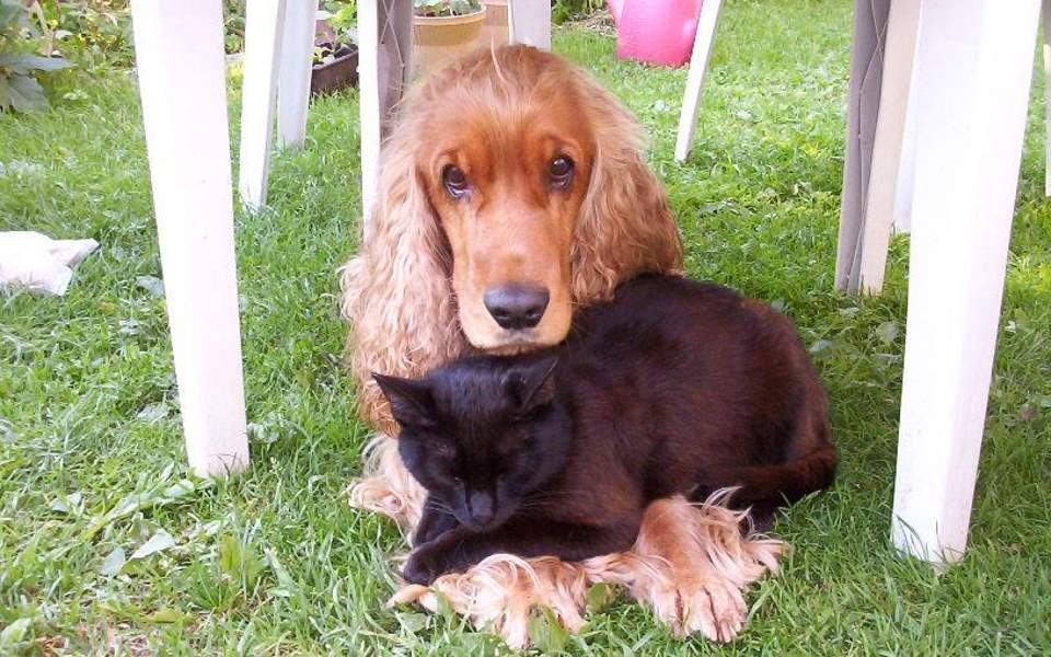 Dog breeds that are friendly to cats: Cocker spaniel and cat are friends