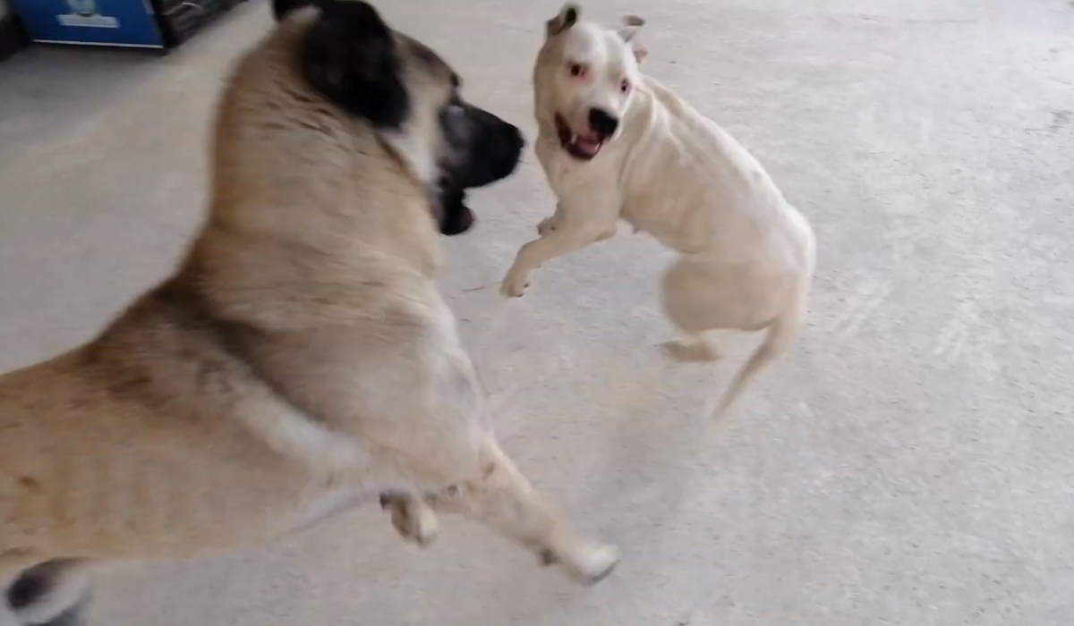 A Turkish Kangal dog and a pit bull terrier playing