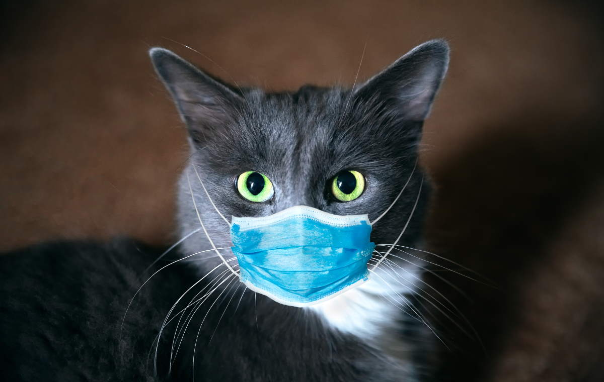 Cat with mask - It's very unlikely your cat has coronavirus