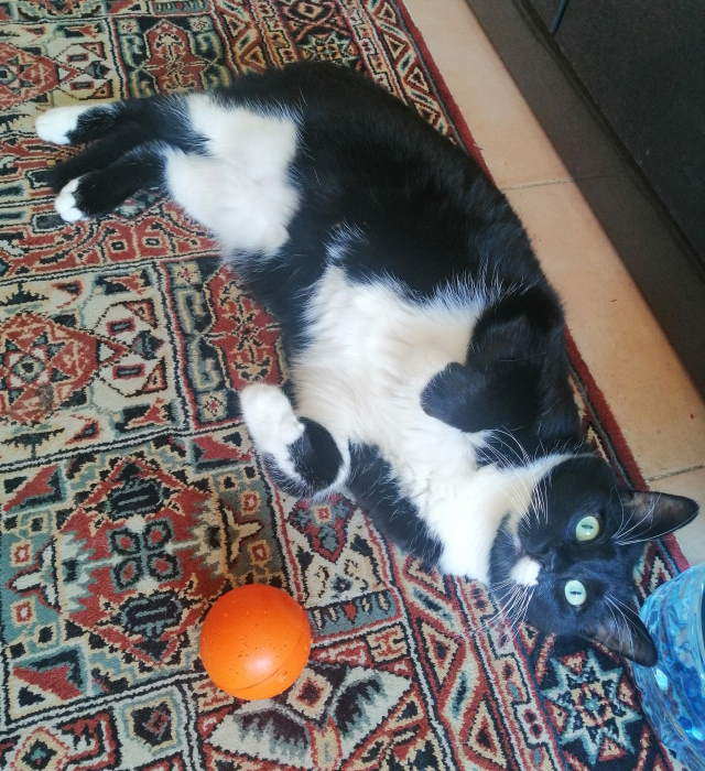 How to help dogs and cats manage separation anxiety when their humans at work: Leo the cat with ball